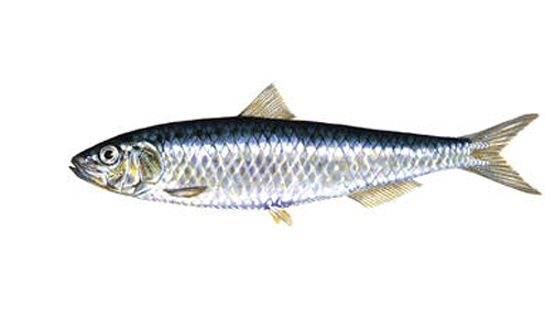 Sardine imports rise in 2012