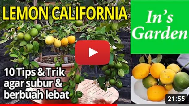 Lemon California Dalam Pot Subur & Berbuah Lebat!